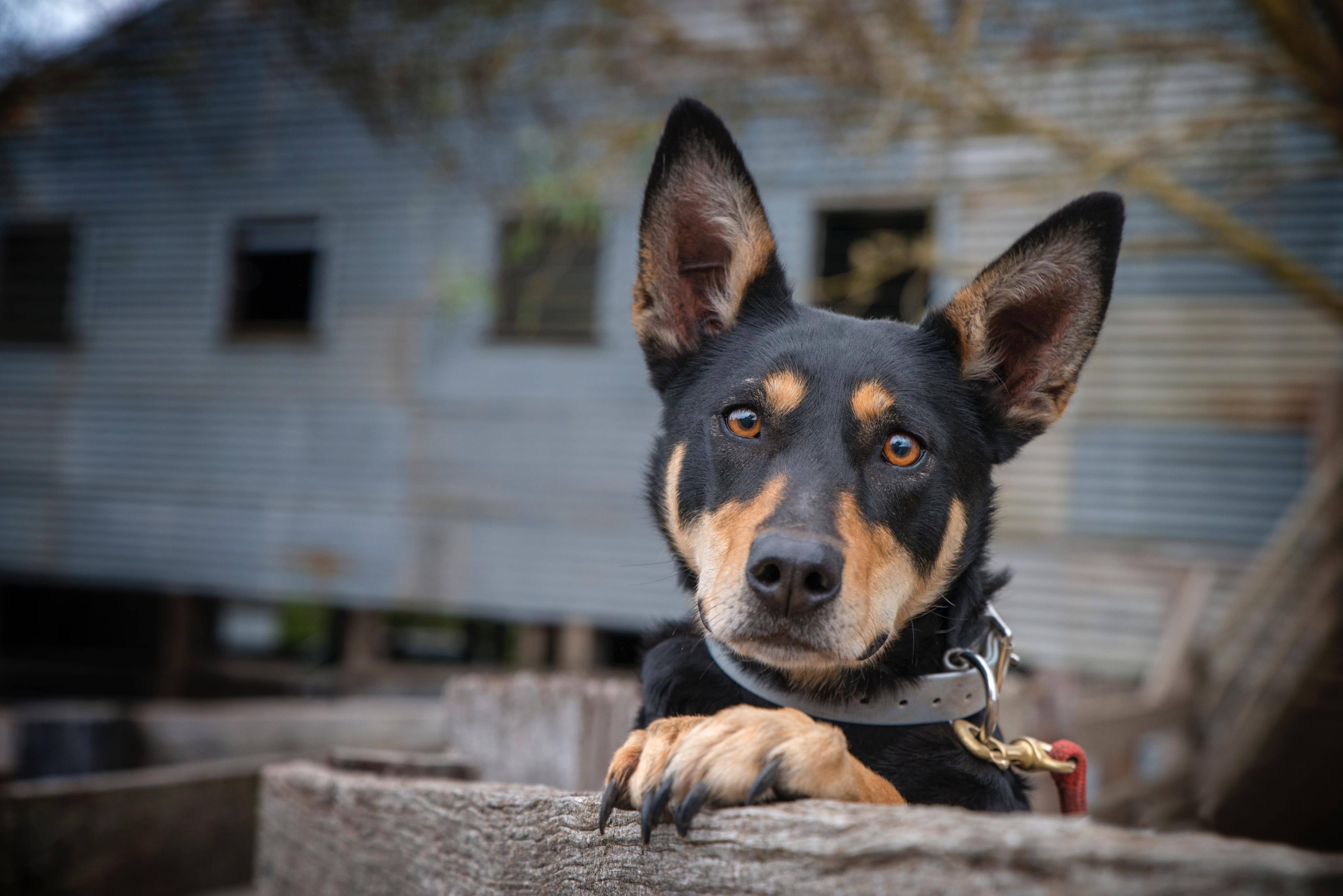Australian Kelpie, Photo Karla Northcott